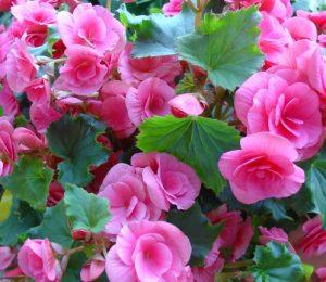Begonias sont généralement des plantes annuelles