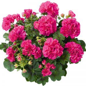 Geranium sont des plantes vivaces