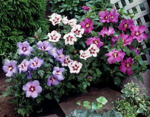 Hibiscus est un arbuste