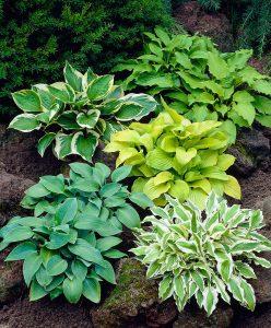 les hostas sont plantes vivaces
