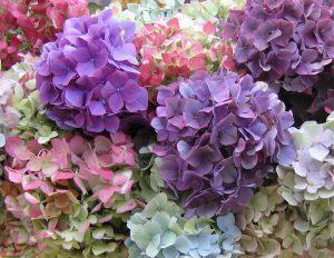 hydrangea est un arbuste